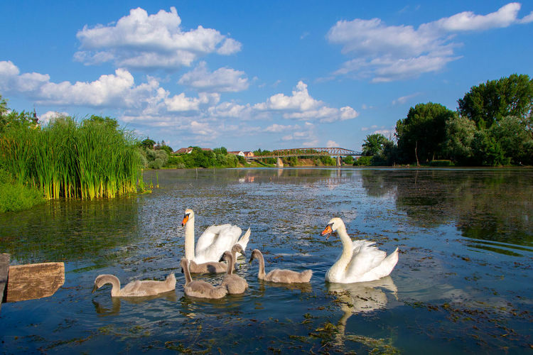 View of swans floating on lake