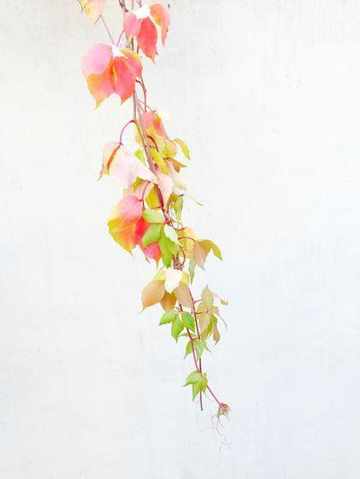 Autumn-Coloured Twig Gdynia 9 November 2015 IPS2015Fall Iphone 6 Plus IPhoneography Twig Colors Autumn Fall Fall Beauty Detail Minimalism Minimal EyeEm Masterclass EyeEmBestPics EyeEm Best Shots Gdynia IPS2016Nature