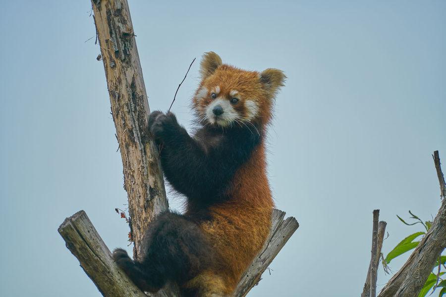 Ailurus Fulgens Ailurus Fulgens Styani Thomas Animal Themes Animals In Japan Cute Japan One Animal Red Panda Zoo