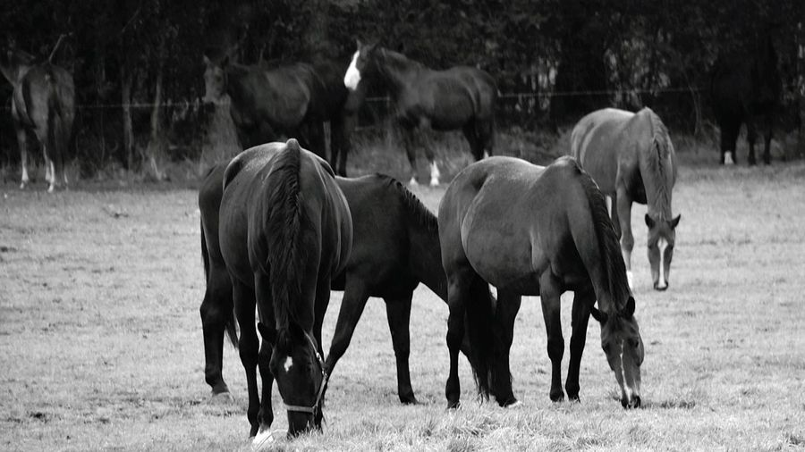 Monochrome Photography Animal Themes Horse Nature Countryside Tranquility No People Tranquil Scene Ladyphotographerofthemonth Beauty In Nature Taking Photos EyeEm Gallery Blackandwhite Photography Blackandwhite Black And White Collection  Black&white Animals Horses EyeEm Best Shots - Nature EyeEm Best Shots - Black + White Eyeem Best Shots - Animals Monochrome Monochrome _ Collection