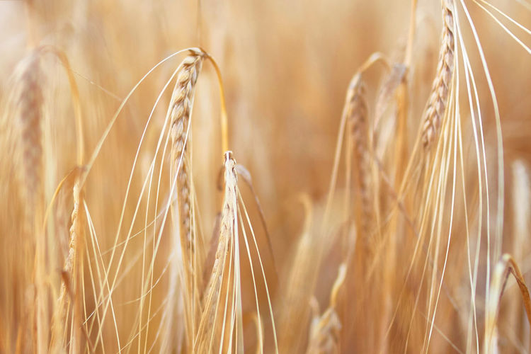 Sunny golden wheat field, ears of wheat close up background