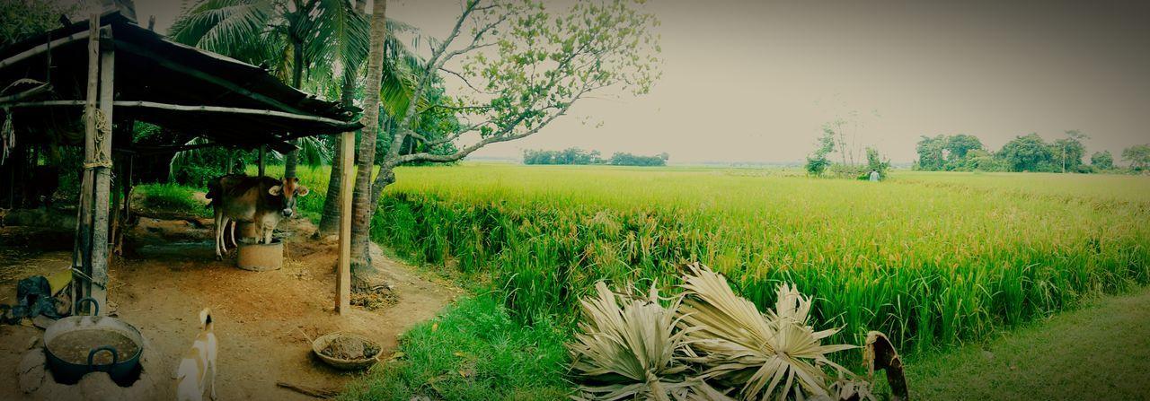 Agriculture Rural Scene Farm Field Nature Beauty In Nature Landscape