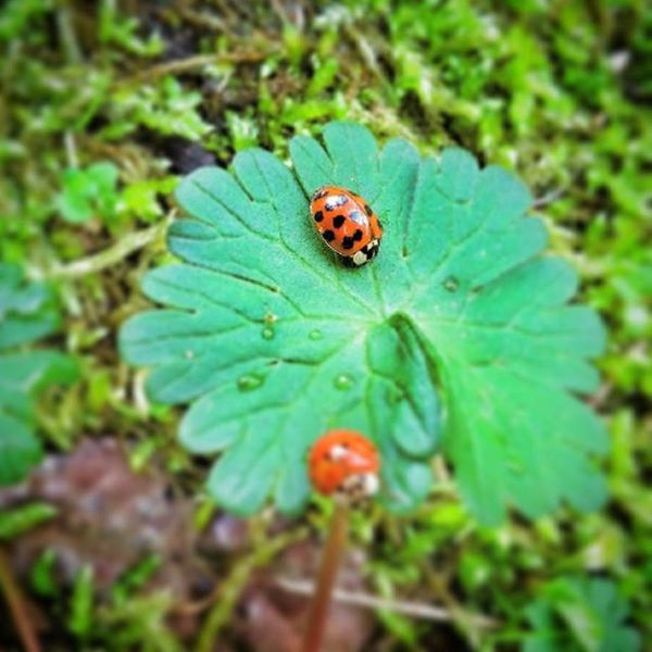 Coccinella Ladybug Nature Spring Love Fortuna Natura Lucky Me Instalike Instapic Goodluck Beauty Nails Cute Ladybird Portafortuna Flowers Styles Primavera Eyes Girl Shoes Insect Viola coccinelle lovenature bug instadaily glitter