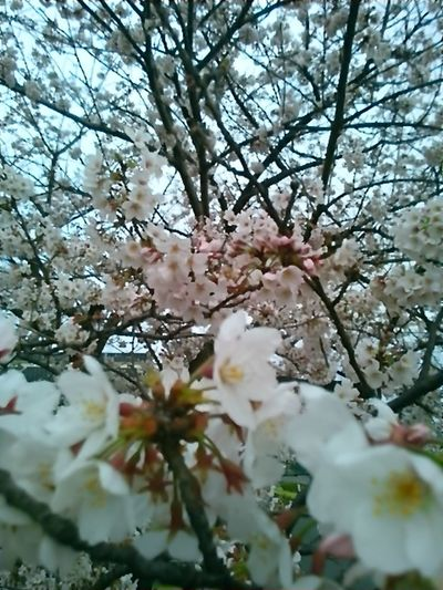 今日の桜。いまが満開。 Beautiful Day Cherry Blossom Leaf Cherry Blossoms Cherry Tree Beautiful View Cherry Tree Flower Japanese Spring Blossom