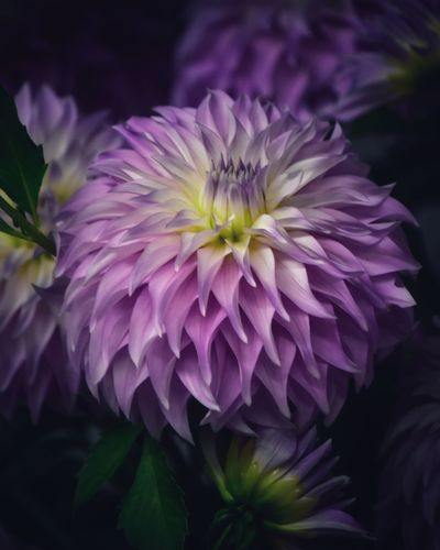 Close-up of purple dahlia