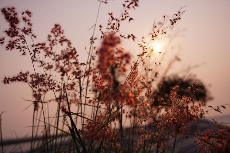 Close-Up Of Flowering Plants On Field Against Sky During Sunset