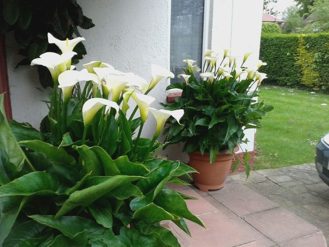 Beautiful lillies in Stanmore this year, many yet to open-plan, never had so many, usually 6-10 in total!
