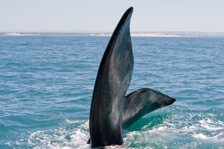 Close-up of whale diving in sea against clear sky