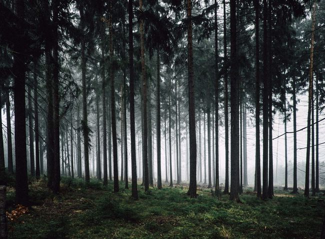Conifer  Coniferous Forest Coniferous Tree Foggy Foggy Day Foggy Landscape Foggy Morning Foggy Weather Germannature Germany Parallel Lines Symmetry Thueringerwald
