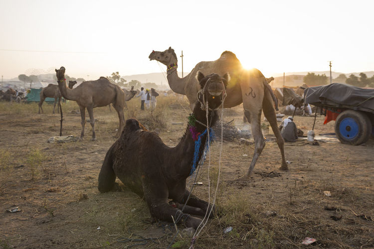 closeup of camel in fields desert in sunrise time Camel Day Domestic Animals Field Herbivorous Indiapictures Livestock Mammal Nature Outdoor Outdoors Outdoot Life Pushkar Rajasthan Rural Scene Sunbeam Sunlight Tourism Travel Destinations Travel Photography