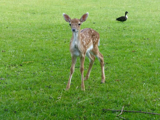 Grass Animals In The Wild Animal Themes Animal Wildlife Field Day Young Animal Green Color No People Outdoors Nature Mammal Bird Bamby Fawn