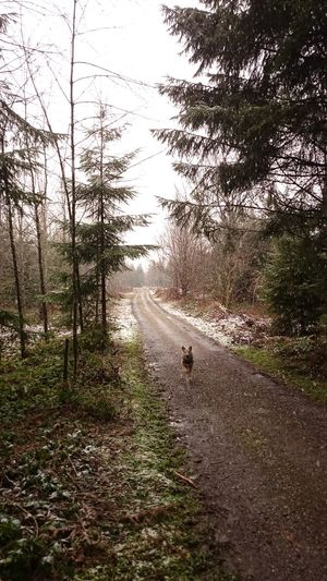 Dog Enjoys Snow Forest Outdoors Snow Snowfall Walk Winter Is Back Winter Trees