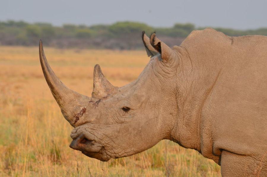Africa African Safari Animals In The Wild Day Mammal Nature No People Outdoors Rhino Rhinos