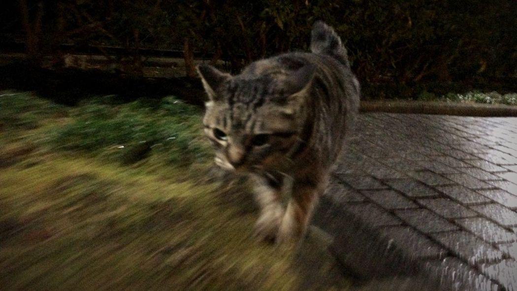 Stray Cat 走り猫 夜ねこ 野良猫 キジトラ