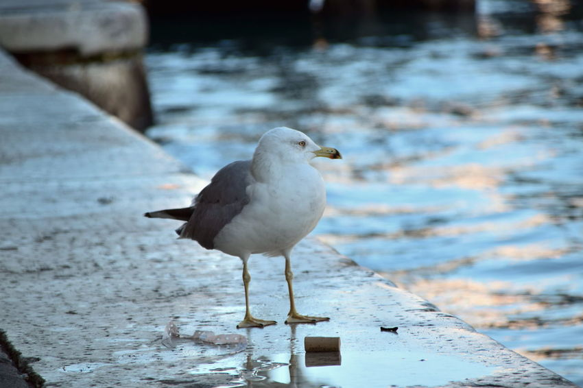 Bird Animal Wildlife One Animal Animals In The Wild Animal Themes Seagull Focus On Foreground Sea Beach Sea Bird Water No People Close-up Nature Outdoors Day Venezia