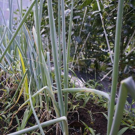 このネギの中に一本だけペンがあります。どれでしょう??Japan Miyazaki Morning Vegitable Field Homegarden Green Greenonion Pen LOL 家庭菜園 ネギ ペン