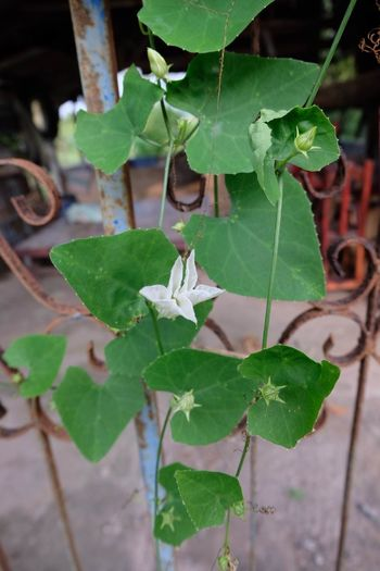 Coccinia Grandis Coccinia Grandis Flower Day Growth Nature Plant