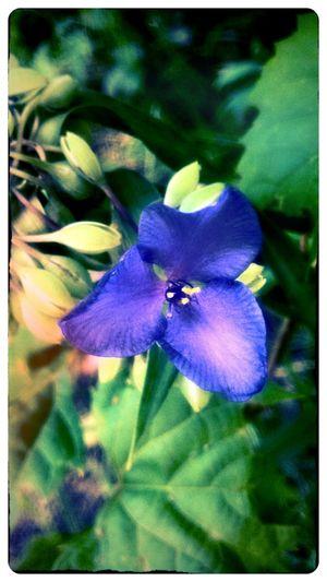 Wisconsinwildflowers Wildflowers Purple Flower
