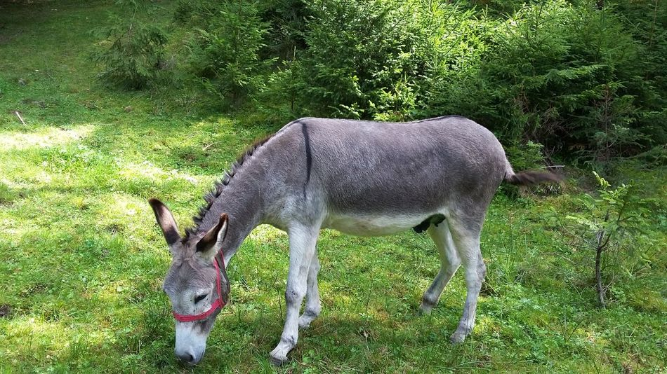 Donkey eating grass. Animal Themes Grass High Angle View One Animal Animals In The Wild Nature Green Color No People Field Outdoors Mammal Day Donkey Donkey Animals Animals In The Wild Animal Photography