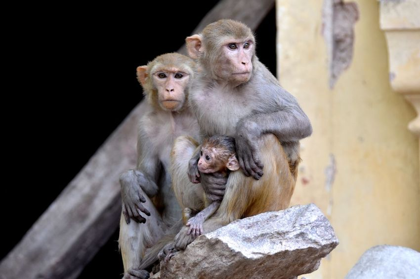 Monkey family in Jaipur, India Group Of Monkeys Indian Monkey Monkey Theme City Monkeys Monkey Monkey Family EyeEm Selects Animal Wildlife Animals In The Wild Mammal Primate Group Of Animals Vertebrate Young Animal Animal Family