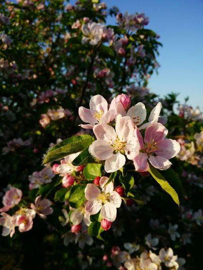 Tree Flowering Tree Flower Prunus My Orchard Spring Flowers Spring Flowers Sun Beatiful Day.. Spring 2016 Spring Has Sprung Spring Is In The Air