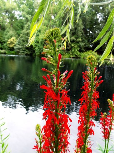 Water Nature Red Growth Beauty In Nature Outdoors Plant Day No People Tree Lake Leaf Flower Freshness Close-up LongwoodGardens