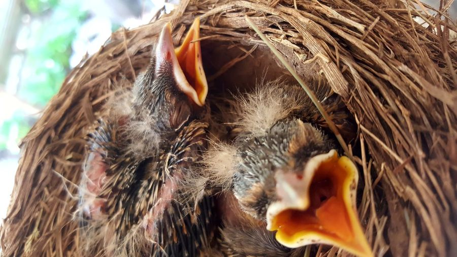 Baby Birdies Baby Birds In Nest Baby Birds Baby Robins Birds_collection Bird Photography Birds Of EyeEm  Taking Photos Check This Out National Wildlife Refuge Photography #photo #photos #pic #pics #tagsforlikes #picture #pictures #snapshot #art #beautiful #instagood #picoftheday #photooftheday #color #all_shots #exposure #composition #focus Capture Moment [ Showcase April First Eyeem Photo EyeEm Best Shots Getty Images Eyeemphotography Phonephotography Eyeemphotography Getty+EyeEm Collection EpicShotPhotography EyeEm Gallery Getty X EyeEm Images Epic Shot Photography Epic Pics Getty & Eyeem Photography