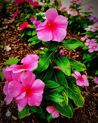 Pretty Pink Flowering Plant Flower Plant Petal Freshness Beauty In Nature Pink Color Fragility Flower Head Growth Close-up Nature Day Plant Part No People Leaf Vulnerability