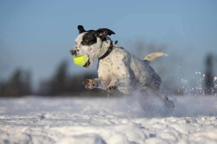 Close-Up Of Dog Holding Ball In Mouth While Running On Snow