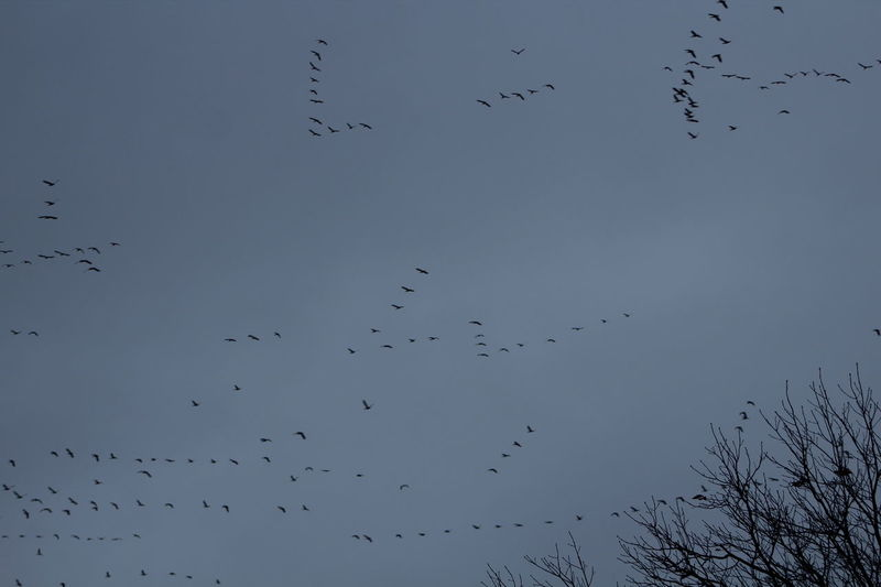 Mass Migration of Geese Animal Themes Animals In The Wild Atmosphere Atmospheric Mood Bird Flight Flock Of Birds Flying Freedom Geese Geese Migration Majestic Mid-air Migration Motion Mystery Spread Wings Weather Wildlife