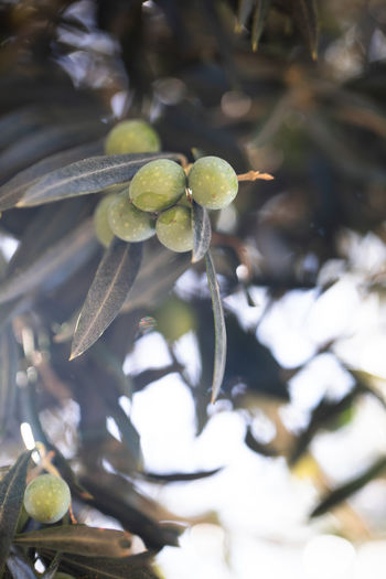 Olives tree and