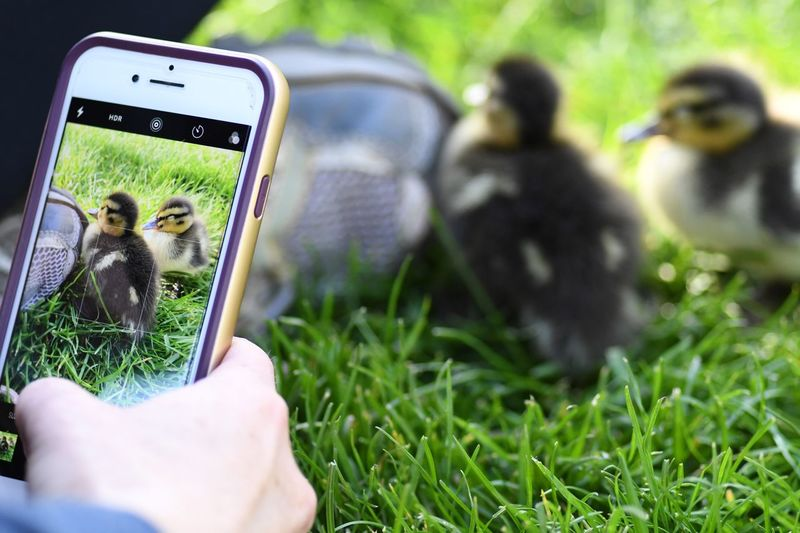 Cropped Hand Photographing Ducklings From Mobile Phone On Field
