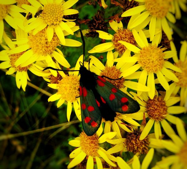 Moth Moth Moths Yellow Flower Yellow Nature Frigale Red Dots Flowers Irish Moths