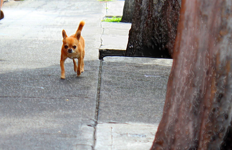 Un chiguagueño gracioso Animal Animal Head  Animal Themes Chihuahua Day Dog Domestic Animals Mammal Nature No People Outdoors Pet Collar Pets Portrait