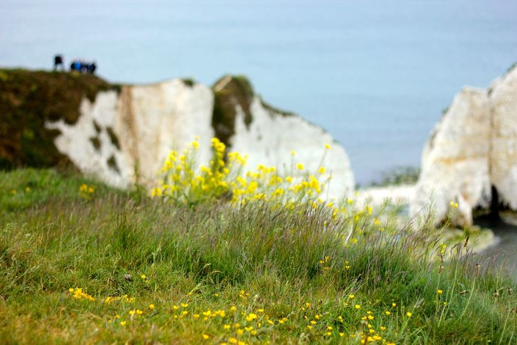 old harry rocks Beauty In Nature Day Field Flower Grass Nature No People Old Harry Rocks Outdoors Scenics Sea Sky Tilt-shift Tranquil Scene Tranquility Water