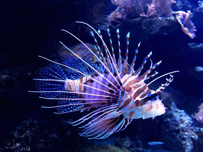 Iphonephotography Oceananimals Ocean Nature Zoo UnderSea Floating In Water Animals In Captivity Aquarium Animal Themes Swimming Sea Life Water Underwater Fish Saltwater Fish Lionfish Poisonous Beauty In Nature