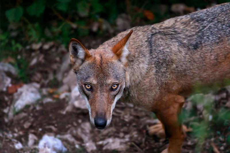 Portrait of wolf standing