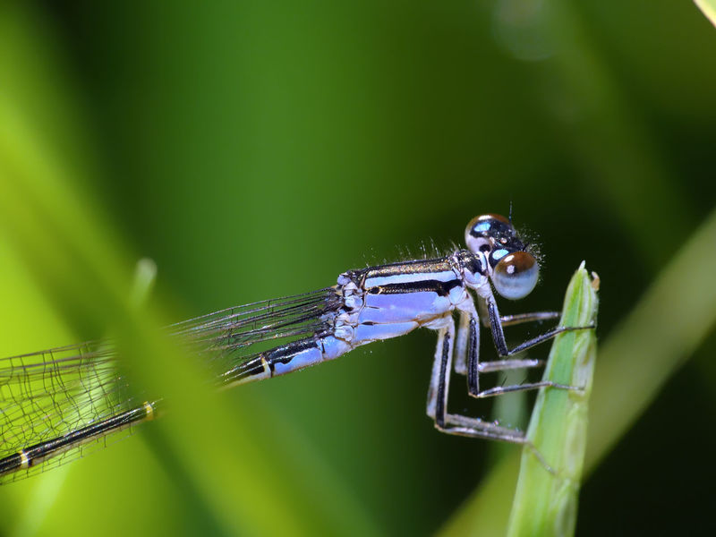 Ischnura elegans (female - form violacea) Insect Macro  Insecta Ischnura Ischnura Elegans Zygoptera Animal Themes Animal Wildlife Animals In The Wild Arthropoda Blue-tailed Damselfly Close-up Coenagrionidae Damselfly Hexapoda Insect Insect Close-up Nature Odonata