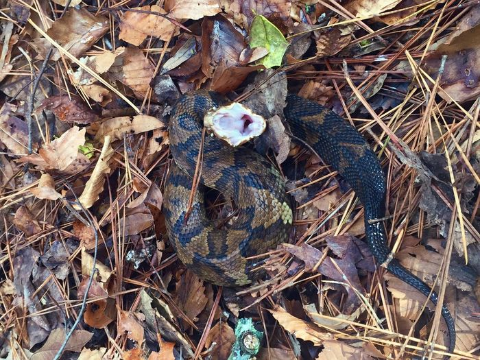 Close-Up High Angle View Of Cottonmouth Snake On The Ground