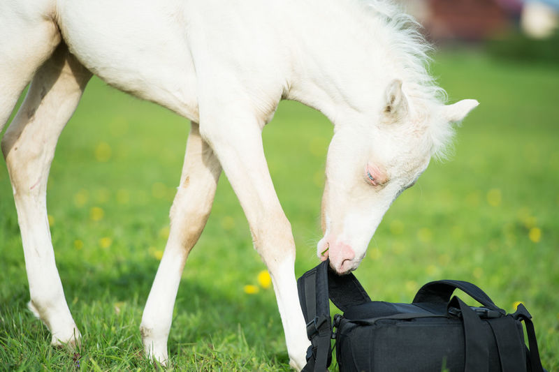 Foal carrying bag while standing on land