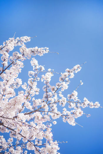 Low angle view of white flowering tree against blue sky