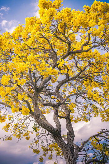 Golden Trumpet Tree Beauty In Nature Branch Day Growth Low Angle View Nature No People Outdoors Sky Tree Yellow