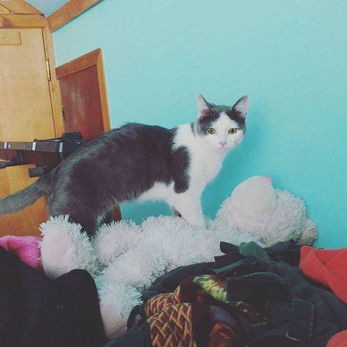 He got too big too soon. Cat Kitten GrowingUp 8months Baby Catsofinstagram Kittensofinstagram Instacat Instakitten Instacatsgram Playing Köhler