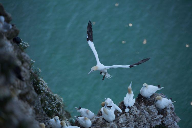 Gannet Sea