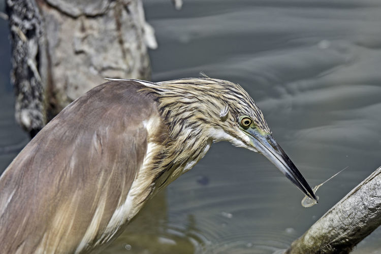 Close-Up Of Gray Heron In Lake