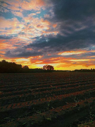 Agriculture Tobaccofield Sunset Landscape Rural Scene American Life Country Views Multi Colored Agriculture Farmview Beauty In Nature Cloud - Sky