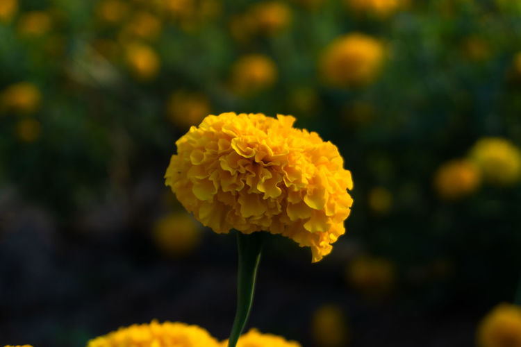 Flowering Plant Flower Vulnerability  Fragility Plant Beauty In Nature Freshness Growth Petal Close-up Inflorescence Flower Head Yellow Focus On Foreground Marigold Nature No People Day Outdoors Selective Focus Softness