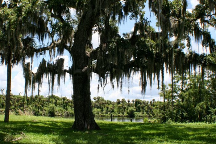 Live Oak & Spanish Moss Caloosahatchee River Florida LaBelle Tree Live Oak Live Oaks Spanish Moss Landscapes With WhiteWall