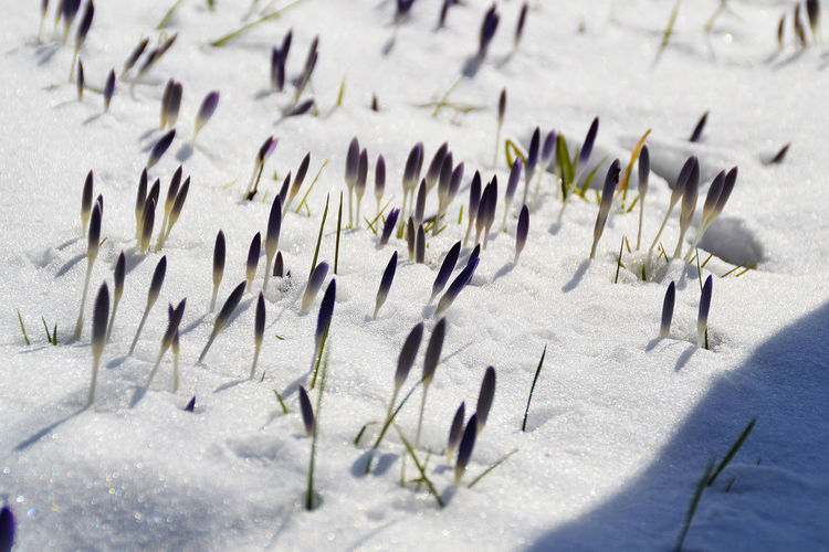 Beauty In Nature Berlin Blue Crocusse Built Structure Cold Temperature Crocusses Over Sno Focus On Foreground Nature No People Non-urban Scene Outdoors Paris Scenics Snow Snow Covered Tranquil Scene Winter