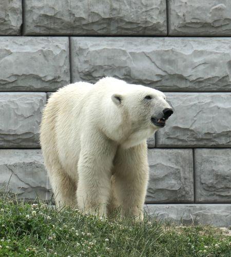 Polar Bear Bear